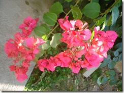 bougainvilliers (1)