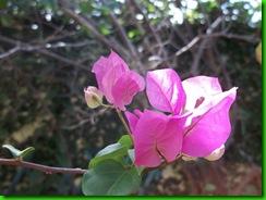 fleurbougainvillie